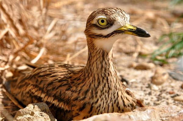 A newsting Stone Curlew